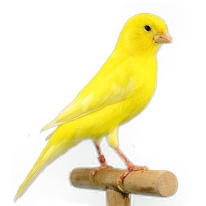 Canario malinois
